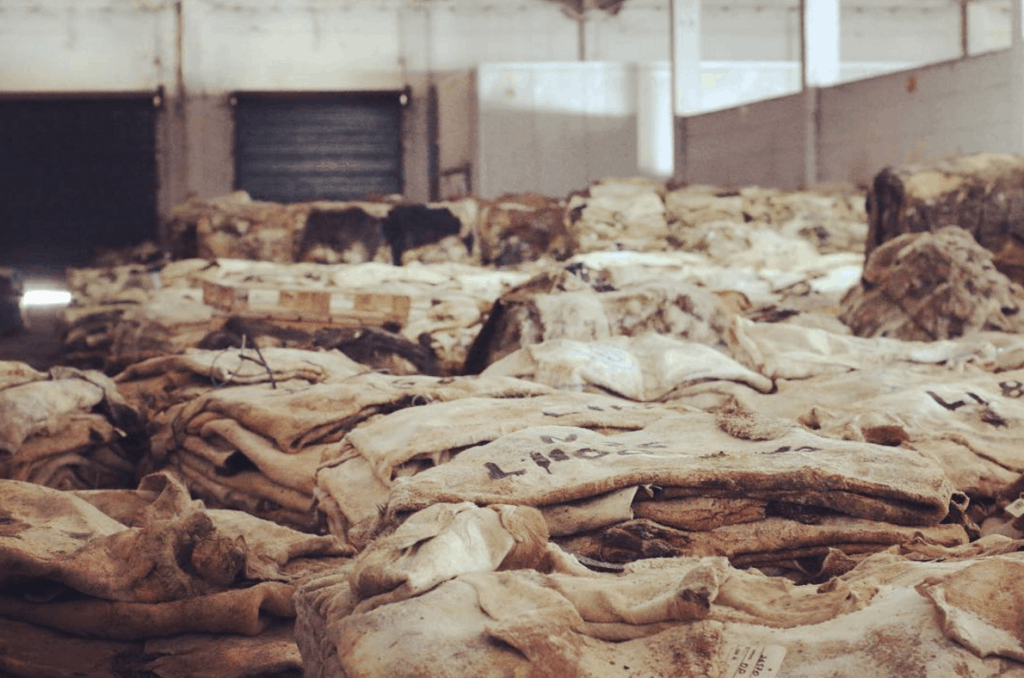 Raw horse hides to start treatment to become cordovan and avancorpo.